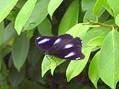 昆蟲世界:紫蛺蝶