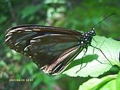 昆蟲世界:青斑蝶