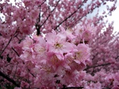 武陵櫻花:櫻花