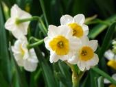 陽明春櫻:水仙花
