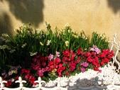 陽明春櫻:花