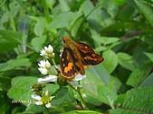 昆蟲世界:竹紅弄蝶
