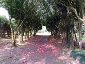 陽明春櫻:茶花園