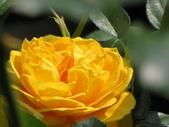 士林官邸玫瑰季:黃玫瑰