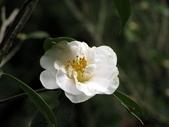 陽明春櫻:茶花