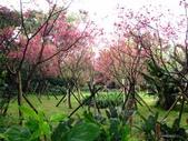 陽明春櫻:櫻花