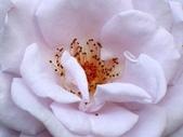 士林官邸玫瑰季:淡紫玫瑰
