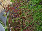 蕨類世界:滿江紅