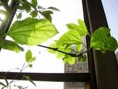 一些家花:百香果葉