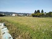 樹林柑園波斯菊:樹林柑園12.jpg