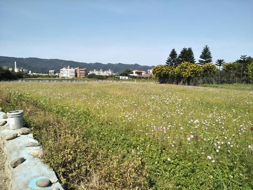 樹林柑園12.jpg - 樹林柑園波斯菊