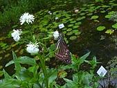 綠世界生態農場:光冠水菊+琉球青斑蝶