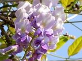 春遊台北植物園:紫藤