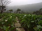 竹子湖海芋開:竹子湖海芋田