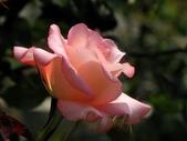 士林官邸玫瑰季:粉玫瑰