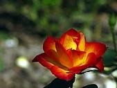 士林官邸梅花開:玫瑰