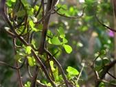 一些家花:樹馬齒莧