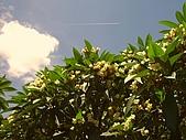 萬華龍山寺:雞蛋花