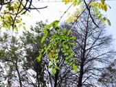 春遊台北植物園:紫藤葉
