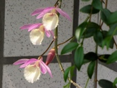 一些家花:垂枝石斛蘭