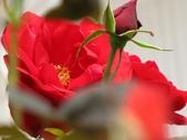 士林官邸玫瑰季:紅玫瑰