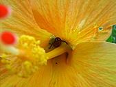 至德園荷花開:朱槿與蟲子