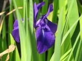 春遊台北植物園:鳶尾花