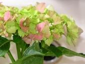 一些家花:繡球花