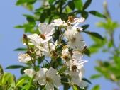 春遊台北植物園:野薔薇