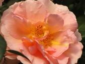 士林官邸玫瑰季:玫瑰