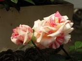 士林官邸玫瑰季:雙色玫瑰
