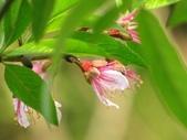 春花處處開:桃花