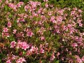 春遊台北植物園:烏來杜鵑