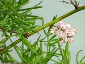 一些家花:武竹