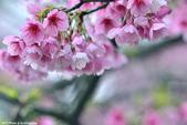 2015 櫻花:_DSC6444.jpg