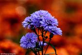 花:_DSC8083.jpg