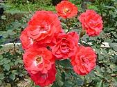玫瑰:rose002