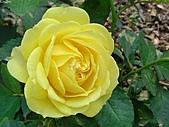 玫瑰:rose003