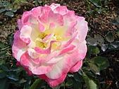 玫瑰:rose006