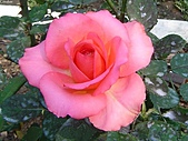 玫瑰:rose008