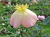 玫瑰:rose011