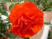 玫瑰:rose012