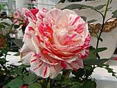 玫瑰:rose013