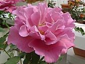 玫瑰:rose014
