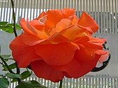 玫瑰:rose016