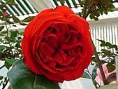 玫瑰:rose017