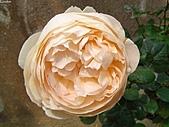 玫瑰:rose018