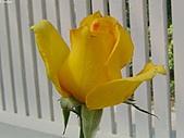 玫瑰:rose019