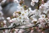 20120406 重返京都:021. 白色的微開~.JPG