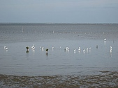 20090208 苗栗後龍好望角:09. 香山濕地上一大堆白鷺鷥.jpg